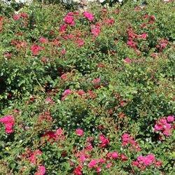 Bodendeckerrose 'Gärtnerfreude' ® / 'Toscana' ® - Rosa 'Gärtnerfreude' ® / 'Toscana' ® ADR-Rose