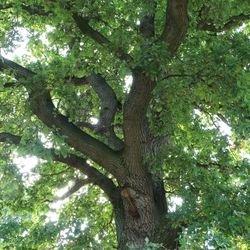Deutsche Eiche / Stiel-Eiche - Quercus robur