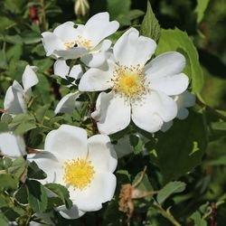 Dünenrose / Bibernellrose - Rosa pimpinellifolia