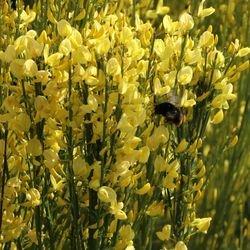 Elfenbein-Ginster 'Allgold' - Cytisus praecox 'Allgold'