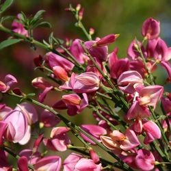 Elfenbeinginster 'Hollandia' - Cytisus praecox 'Hollandia'
