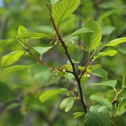 Faulbaum / Pulverholz - Rhamnus frangula
