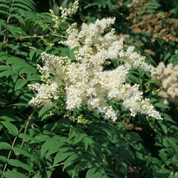Fiederspiere - Sorbaria sorbifolia