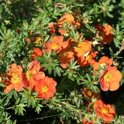 Fingerstrauch 'Red Ace' - Potentilla fruticosa 'Red Ace'