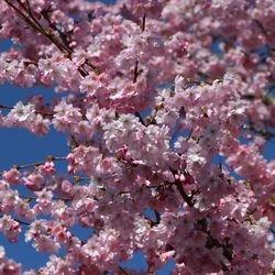 Frühlingskirsche / Frühe Zierkirsche 'Accolade' - Prunus 'Accolade'