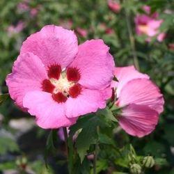 Garteneibisch 'Woodbridge' - Hibiscus syriacus 'Woodbridge'
