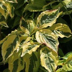 Gelbbunter Hartriegel - Cornus alba 'Spaethii'