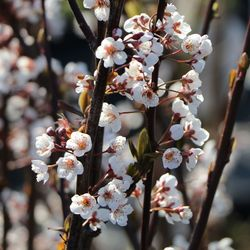 Großfrüchtige / Essbare Blutpflaume 'Trailblazer' / 'Hollywood' - Prunus cerasifera 'Trailblazer' / 'Hollywood'