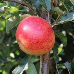 Herbstapfel 'Elstar' - Malus domestica 'Elstar'