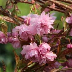 Japanische Hänge-Nelkenkirsche 'Kiku-shidare-Zakura' - Prunus serrulata 'Kiku-shidare-Zakura'