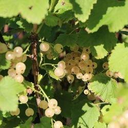 Johannisbeere 'Weiße Versailler' (in Sorten) - Ribes sativa 'Weiße Versailler' (in Sorten)