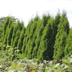 Lebensbaum 'Smaragd' - Thuja occidentalis 'Smaragd'