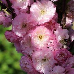 Mandelbäumchen / Mandelstrauch - Prunus triloba