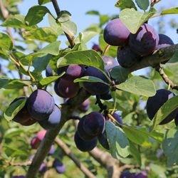 Pflaume 'The Czar' - Prunus 'The Czar'
