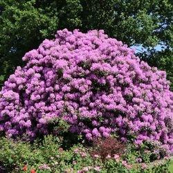 Rhododendron 'Catawbiense Grandiflorum' - Rhododendron Hybride 'Catawbiense Grandiflorum'