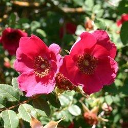 Rote Büschelrose / Mandarin-Rose - Rosa moyesii