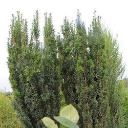 Säuleneibe 'Fastigiata' - Taxus baccata 'Fastigiata'