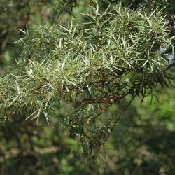 Sanddorn 'Pollmix' - Hippophae rhamnoides 'Pollmix' (männlich)