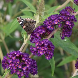 Sommerflieder / Schmetterlingsstrauch 'Black Knight' - Buddleja davidii 'Black Knight'