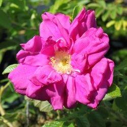 Strauchrose 'Rotes Meer' - Rosa rugosa 'Rotes Meer'