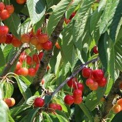 Süßkirsche 'Büttners Rote Knorpelkirsche' - Prunus 'Büttners Rote Knorpelkirsche'