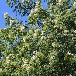 Vogelbeere / Eberesche - Sorbus aucuparia