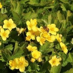 Waldsteinie / Dreiblatt Golderdbeere - Waldsteinia ternata