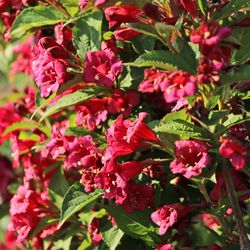 Weigelie 'Bristol Ruby' - Weigela 'Bristol Ruby'