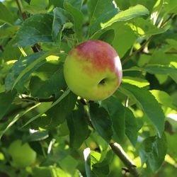 Wildapfel / Holzapfel / Gemeiner Apfel - Malus sylvestris