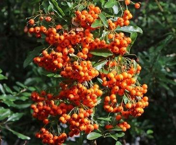 Feuerdorn 'Orange Glow' - Pyracantha coccinea 'Orange Glow'