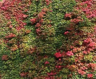 Jungfernrebe / Selbstklimmer / Dreilappige Jungfernrebe 'Veitchii' - Parthenocissus tricuspidata 'Veitchii'