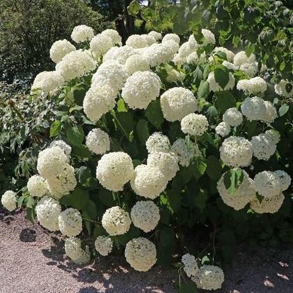 Ballhortensie 'Annabelle' - Hydrangea arborescens 'Annabelle'