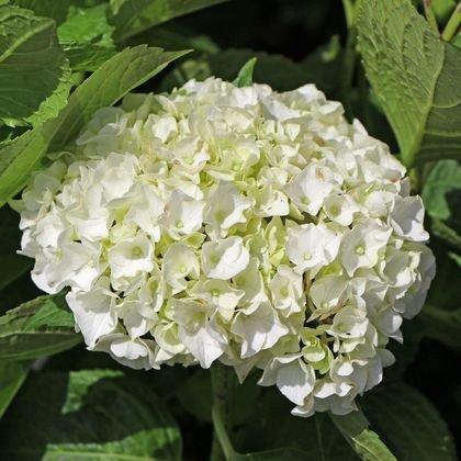 Bauernhortensie weiß - Hydrangea macrophylla weiß