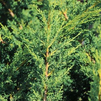 Blaauw's Wacholder - Juniperus chinensis 'Blaauw'