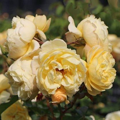 Bodendeckerrose 'Sonnenschirm' ® - Rosa 'Sonnenschirm' ®