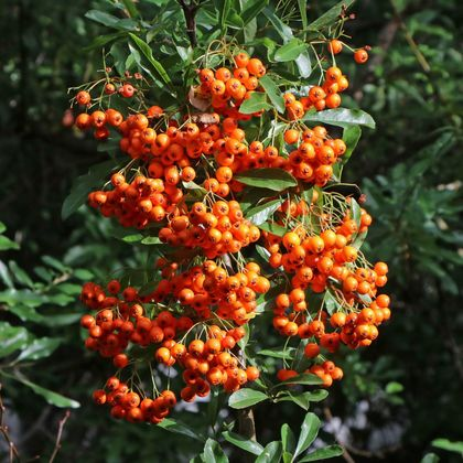 Feuerdorn 'Orange Glow' - Pyracantha coccinea 'Orange Glow'