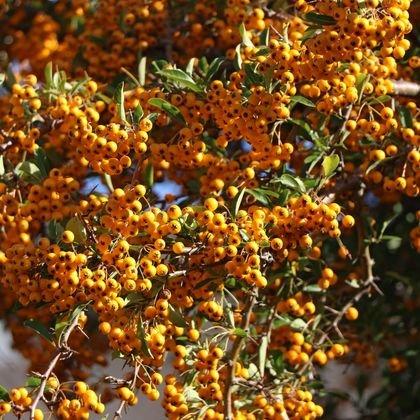 Feuerdorn 'Soleil d'Or' - Pyracantha coccinea 'Soleil d'Or'