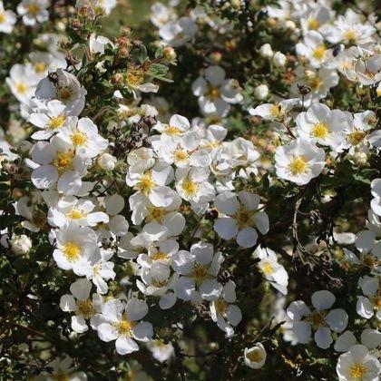 Fingerstrauch 'Abbotswood' - Potentilla fruticosa 'Abbotswood'