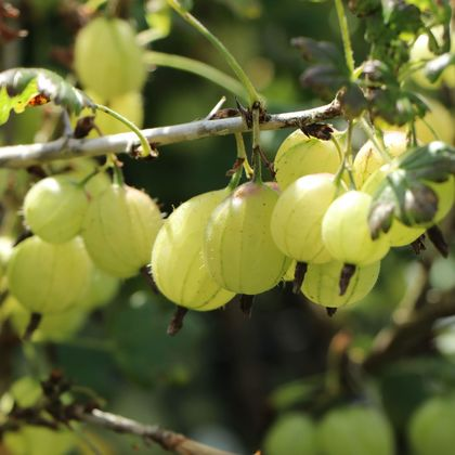 Gelbe Stachelbeere 'Invicta' (ertragreich & robust) - Ribes uva-crispa 'Invicta'