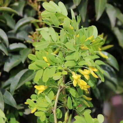 Gewöhnlicher Erbsenstrauch - Caragana arborescens