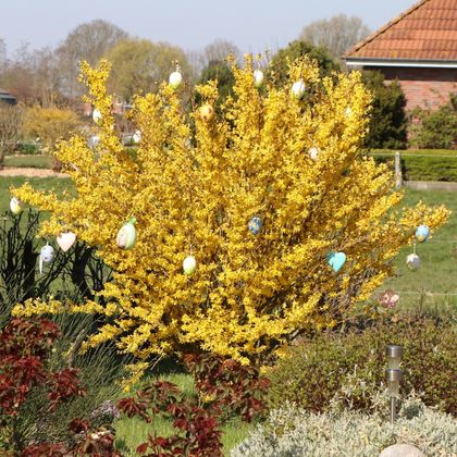 Goldglöckchen / Forsythie - Forsythia x intermedia 'Lynwood Gold'
