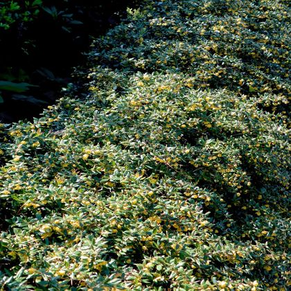 Grüne Heckenberberitze - Berberis thunbergii