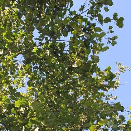 Haselnuss / Waldhasel - Corylus avellana