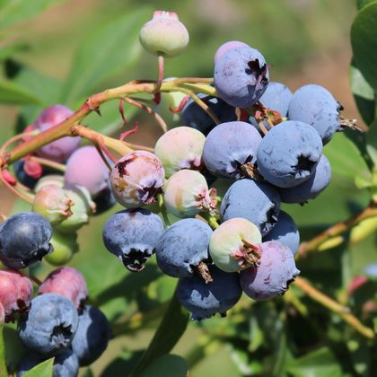 Heidelbeere 'Bluecrop' - Vaccinium corymbosum 'Bluecrop'