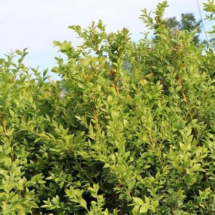 Hoher Buchsbaum - Buxus sempervirens var. arborescens