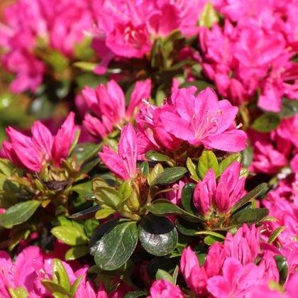 Japanische Azalee 'Kermesina' - Rhododendron obtusum 'Kermesina'