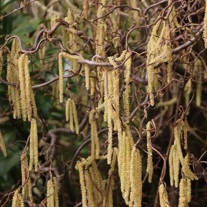 Korkenzieherhaselnuss 'Contorta' - Corylus avellana 'Contorta'