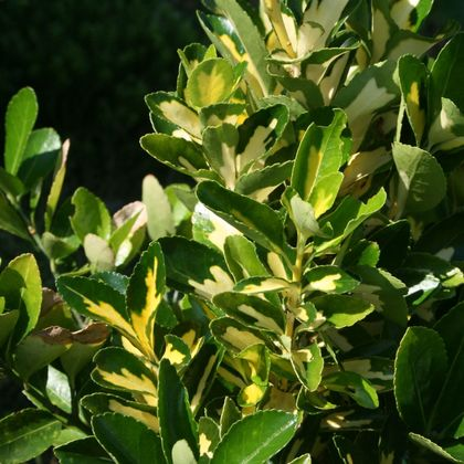 Kriechspindel 'Blondy'  ® - Euonymus fortunei 'Blondy'  ®