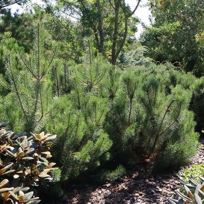 Krummholz-Kiefer / Bergkiefer - Pinus mugo var. mughus