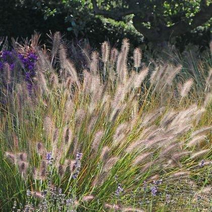 Lampenputzergras 'Hameln' - Pennisetum alopecuroides 'Hameln'